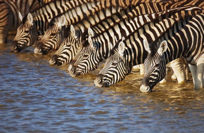 Zebras drinking. Herd of zebras drinking water in Etosha; Equus burchell's stock photos
