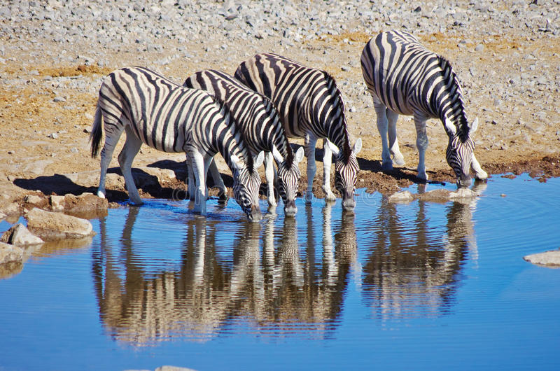 Zebras drinking. Group of four zebras drinking stock image