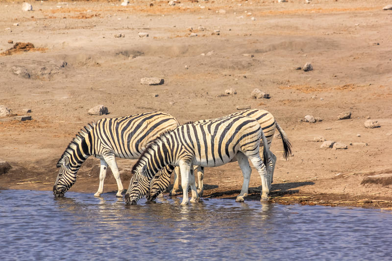 Zebras drinking at pool. In Etosha National Park, in Namibia, Africa royalty free stock photos