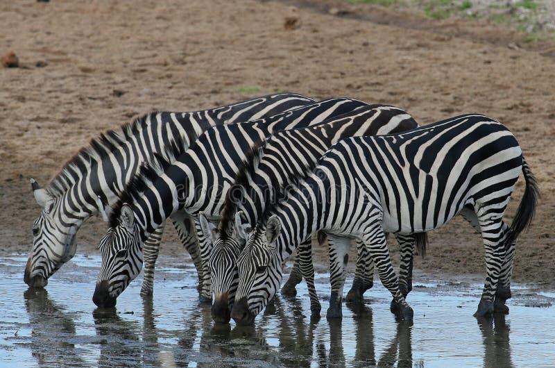 Zebras drinking in river stock photos