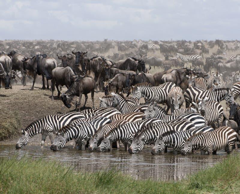 Zebras drinking at the Serengeti National Park. Tanzania, Africa stock image