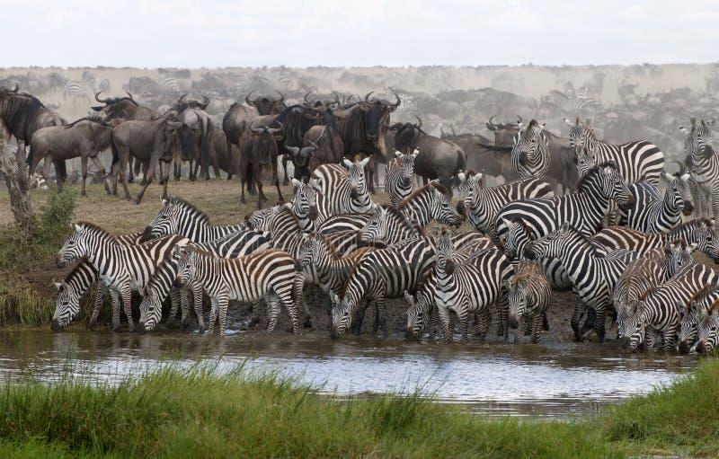 Zebras drinking at the Serengeti National Park. Tanzania, Africa royalty free stock image