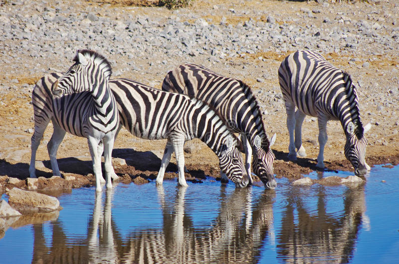 Zebras drinking. Three zebras drinking while the fourth one watches for predators royalty free stock images