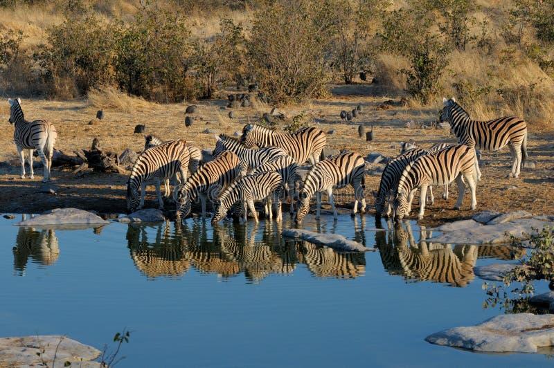 Zebras drinking water. Moringa waterhole, Etosha National Park, Namibia stock photo