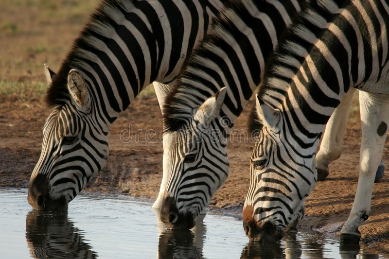 Zebras drinking water. Three zebras quenching their thirst at a water hole in Africa royalty free stock image