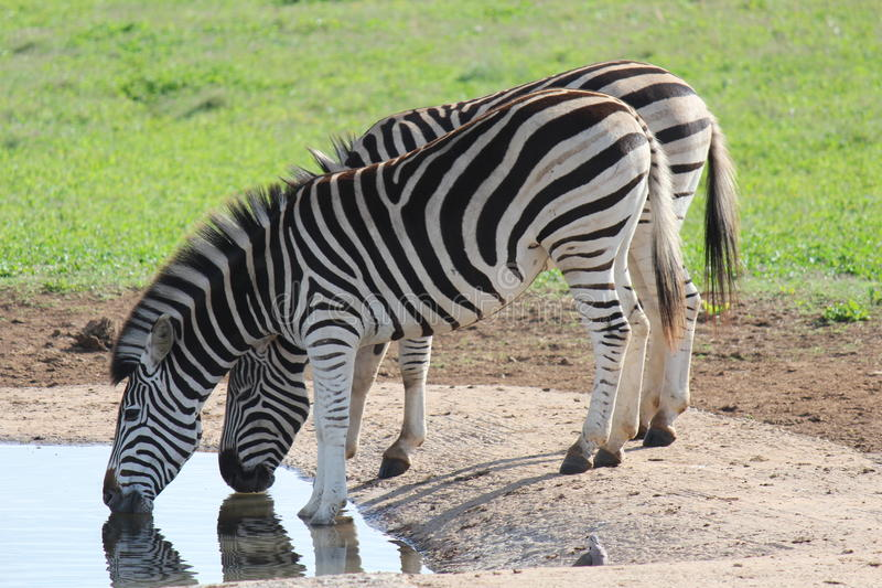 Zebras drinking water. Addo Elephant National Park - South Africa stock photos