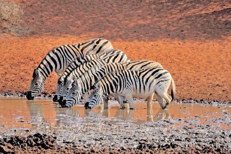 Zebras drinking water. At the Haak en Steek waterhole in the Mokala National Park of South Africa stock images