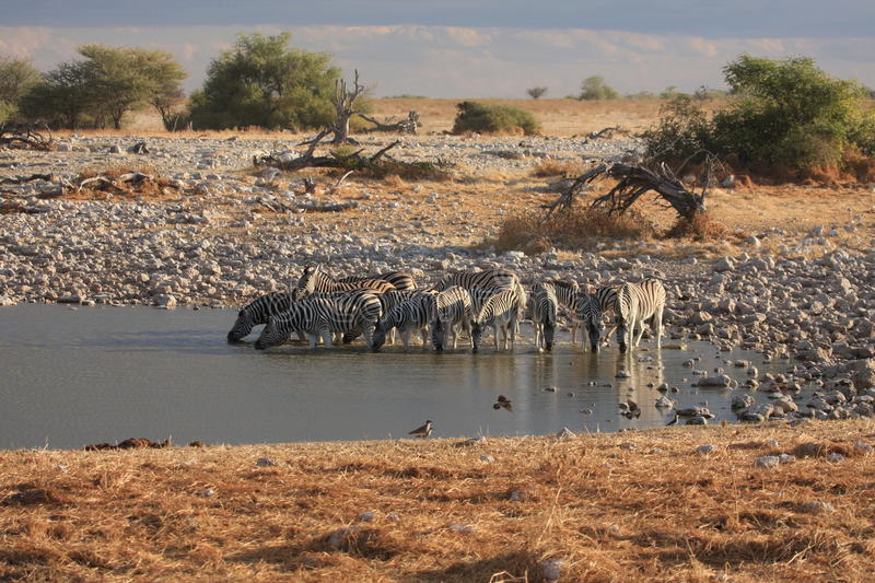 Zebras. Are drinking at a water hole royalty free stock image