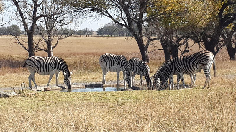 Zebras Drinking. Water on a hot day in South Africa royalty free stock photos