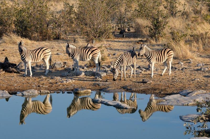 Zebras drinking water. Moringa waterhole, Etosha National Park, Namibia royalty free stock photo