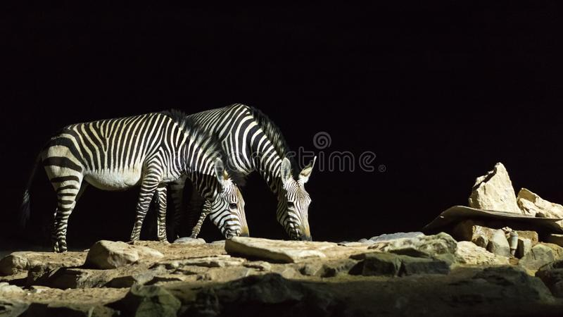 Zebras drinking water at night. Two zebras drinking water at night in Namibia royalty free stock photography
