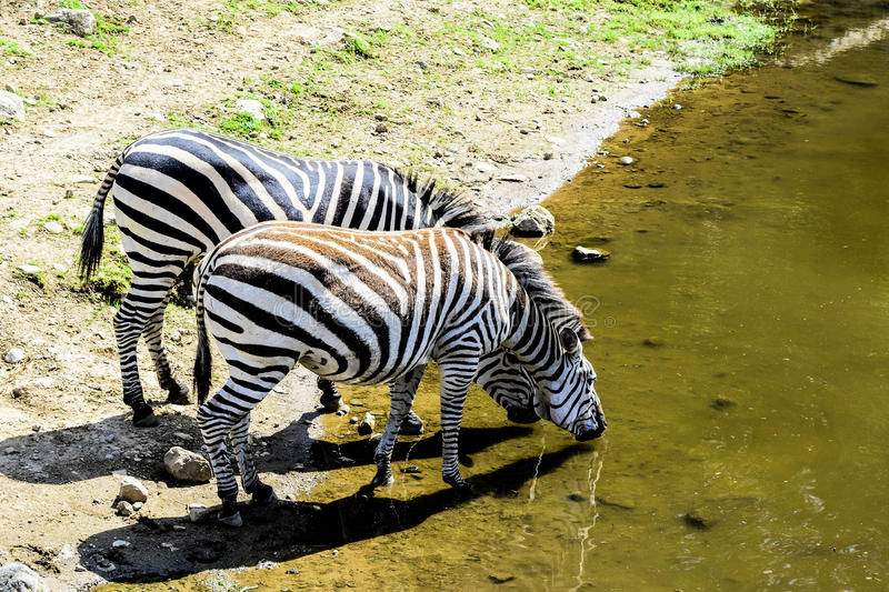 Zebras drinking. Water from pound royalty free stock photos