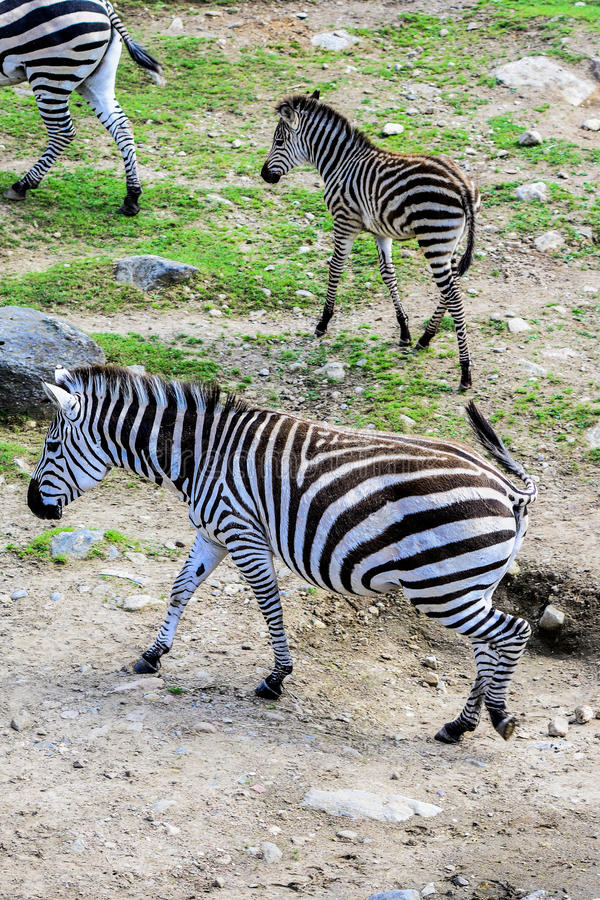 Zebras drinking. Water from pound royalty free stock photo