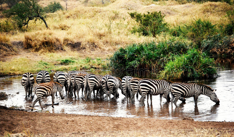 Zebras drinking water. In serengenti natural park in tanzania royalty free stock photography