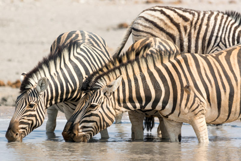 Zebras drinking water at waterhole royalty free stock images