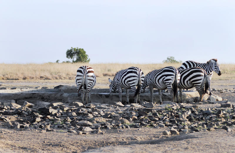 Zebras drinking water. Zebra are one of the species of Horse family stock photo