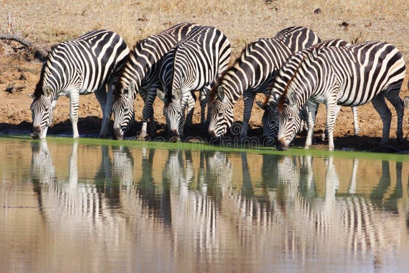 Zebras drinking at waterhole. A herd of Zebras drinking fro a waterhole stock image