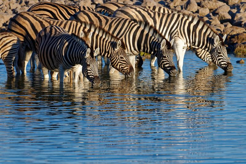 Zebras stand in the morning light drinking at the waterhole. Zebras drinking at a waterhole in Etosha National Park, Namibia. The soft morning light casts a stock images