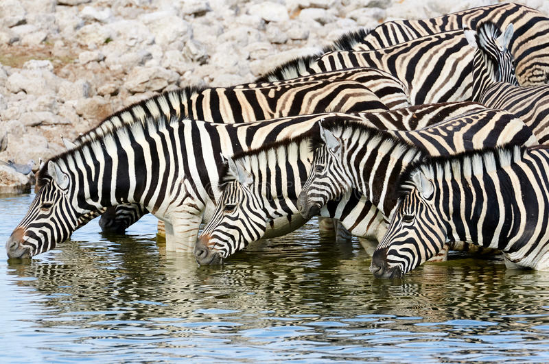 Zebras drinking at a waterhole. Herd of zebras drinking at a waterhole in Namibia royalty free stock photography
