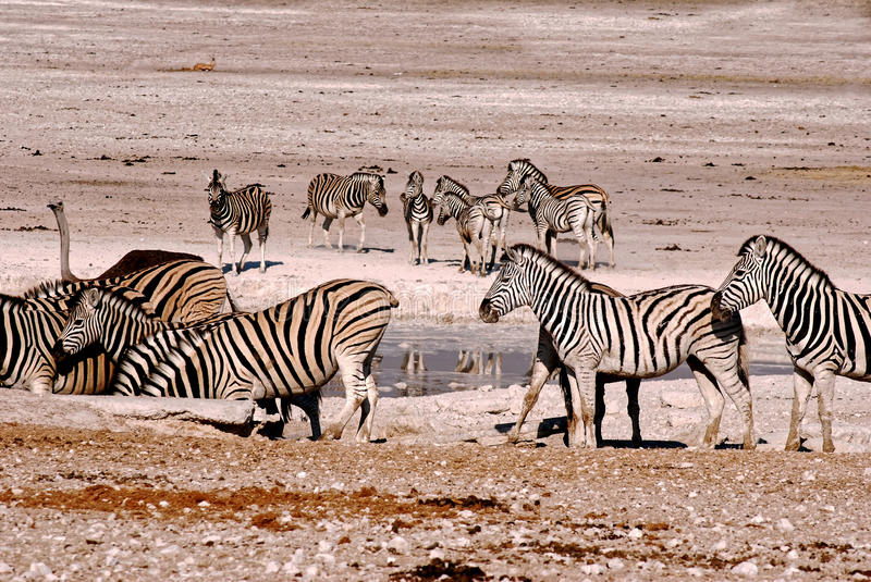 Zebras drinking at waterhole royalty free stock photo