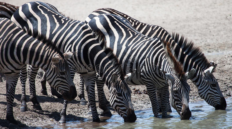 Zebras drinking at watering hole. Four Plains Zebras (Equus quagga) drinking at a watering hole in Tanzania, East Africa stock image
