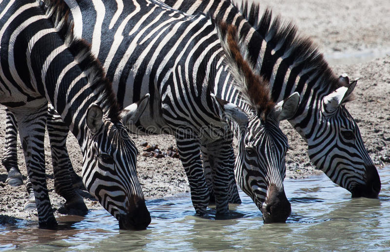 Zebras drinking at watering hole. Three Plains Zebras (Equus quagga) drinking at watering hole royalty free stock photo