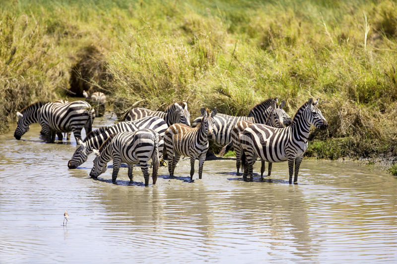 Zebras drinks of a water hole. African Zebras in Serengeti Tanzania, Africa. Drinking water a hot day stock photos