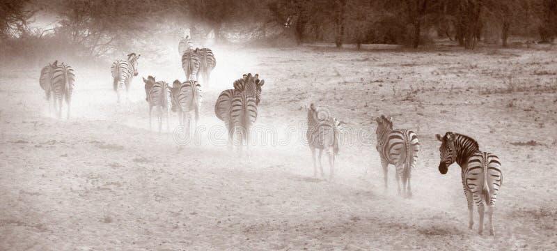 Zebras in the dust. Zebras in walking in a row in the dust in Botswana royalty free stock photo