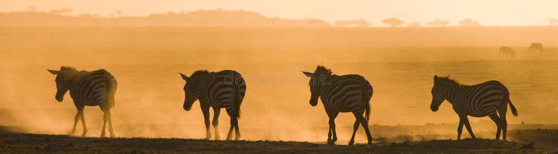 Zebras in the dust against the setting sun. Kenya. Tanzania. National Park. Serengeti. Maasai Mara. An excellent illustration stock photography
