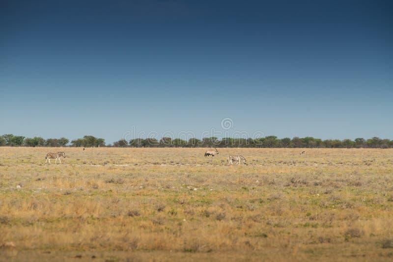 Zebras e admiração a andar no savana de Etosha África fotografia de stock royalty free