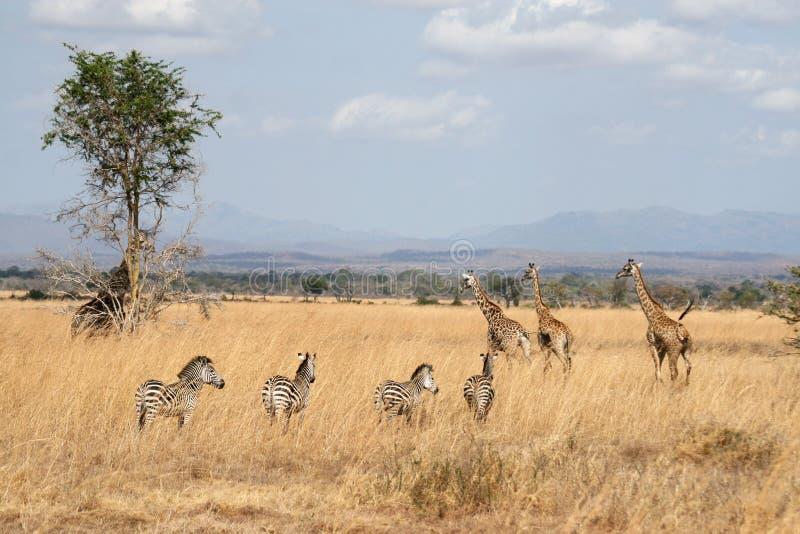 Zebras e giraffes fotos de stock