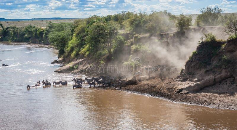 Zebras e gnu durante a migração de Serengeti ao Masai M imagens de stock
