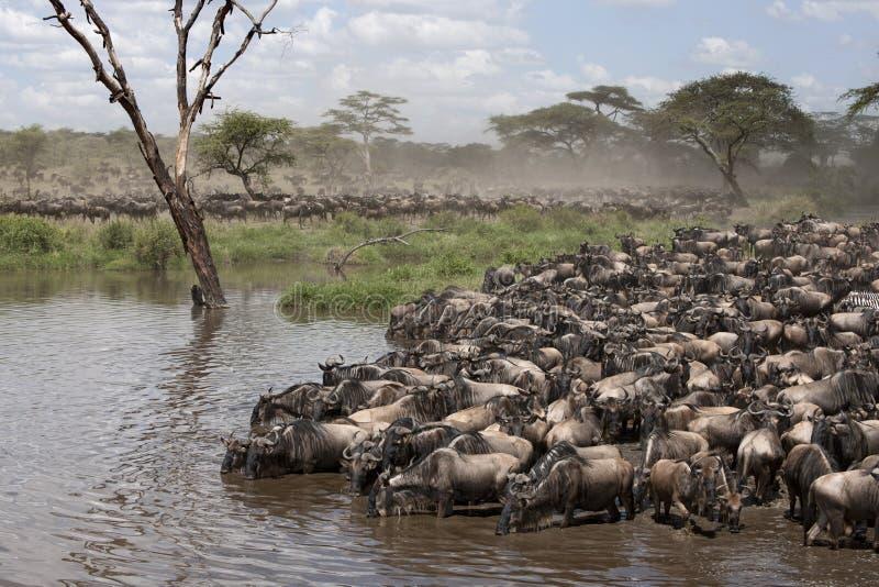 Zebras e Wildebeest fotos de stock
