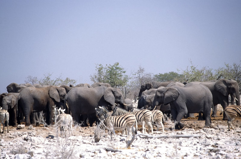 Zebras and elephants. Drinking together in the desert land of etosha park in namibia stock images