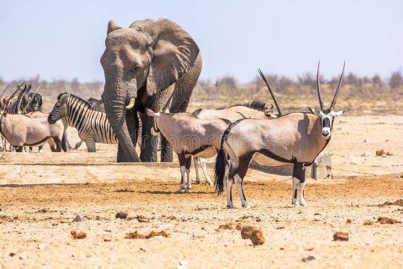 Zebras elephants oryxs. Wildlife animals: zebras elephants oryxs at water pool in Namibian savannah of Etosha National Park, Namibia, Africa stock photos