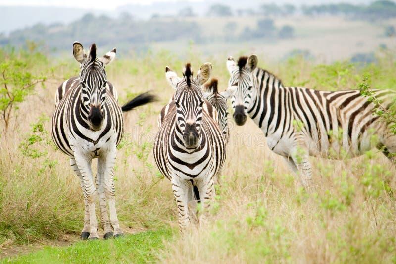 Zebras em África imagem de stock royalty free