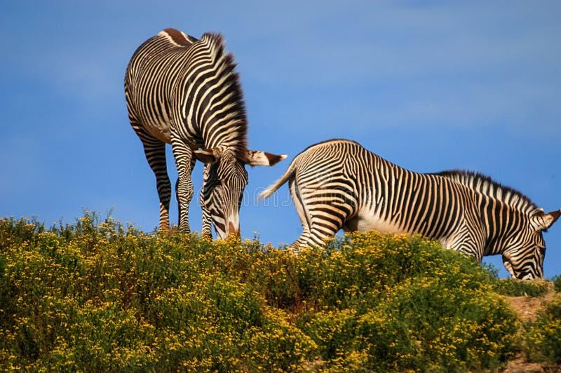 Zebras em San Diego Zoo fotografia de stock royalty free