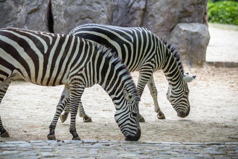 Zebras em um jardim zoológico, Berlim foto de stock royalty free