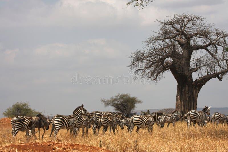 Zebras en baobab royalty-vrije stock afbeeldingen