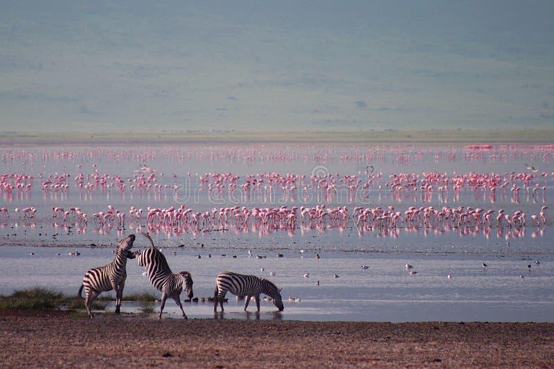 Zebras en flamingo in Ngorongoro royalty-vrije stock foto's