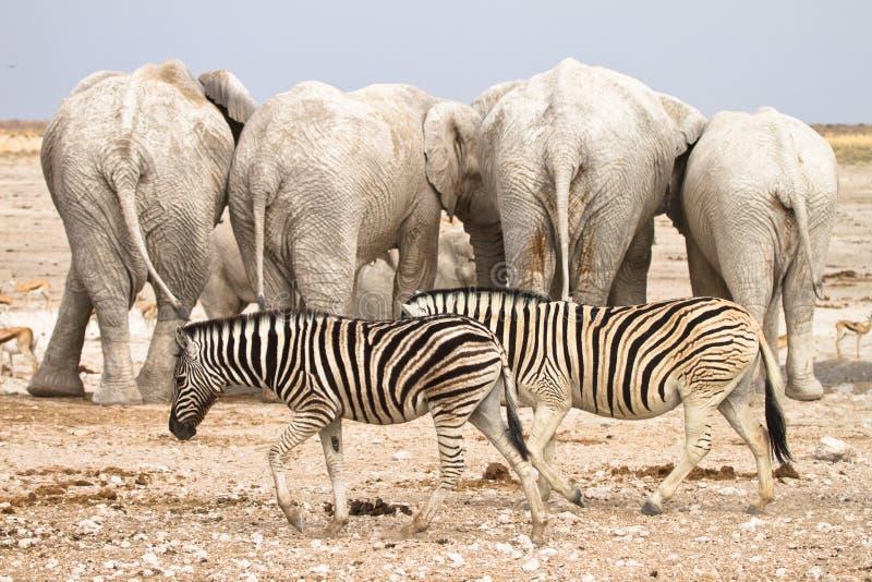 Zebras en olifanten stock afbeelding