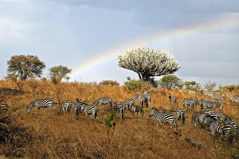 Zebras en Regenboog stock afbeelding