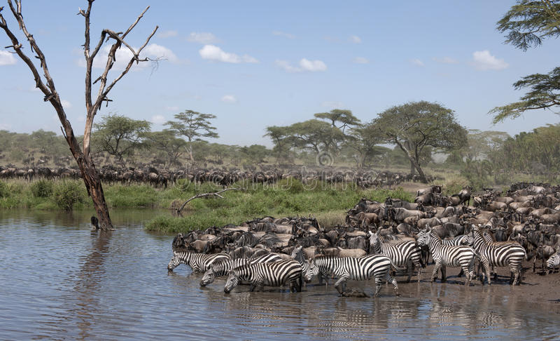 Zebras en Wildebeest stock foto's