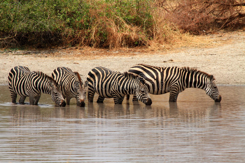 Zebras (Equus quagga) in watering hole. Four Zebras (Equus quagga) stand in a watering hole and drink water royalty free stock images