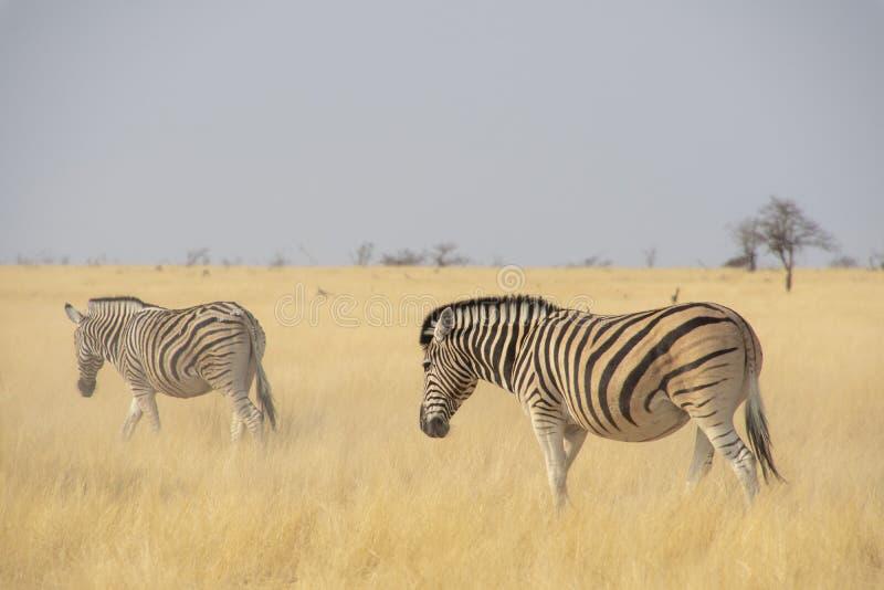 Zebras in Etosha - Namibië stock afbeeldingen