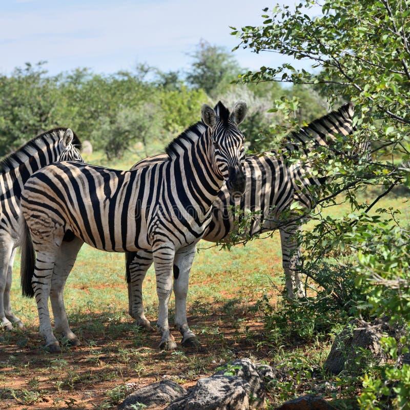 Zebras in Etosha, Namibia. Damara zebras herd hiding from sun heat in the shade of bushes, Equus burchelli, Etosha national park, Namibia royalty free stock photo