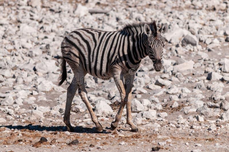 Zebras in Etosha National Park. A Burchell`s Plains zebra -Equus quagga burchelli- standing on the plains of Etosha National Park, Namibia royalty free stock image