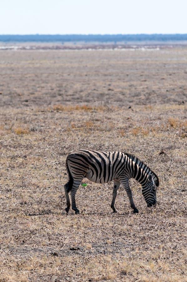 Zebras in Etosha National Park. A Burchell`s Plains zebra -Equus quagga burchelli- standing on the plains of Etosha National Park, Namibia royalty free stock photo