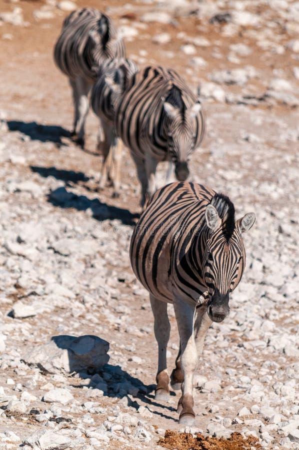 Zebras in Etosha National Park. A group of Burchell`s Plains zebra -Equus quagga burchelli- standing close to each other on the plains of Etosha National Park stock image