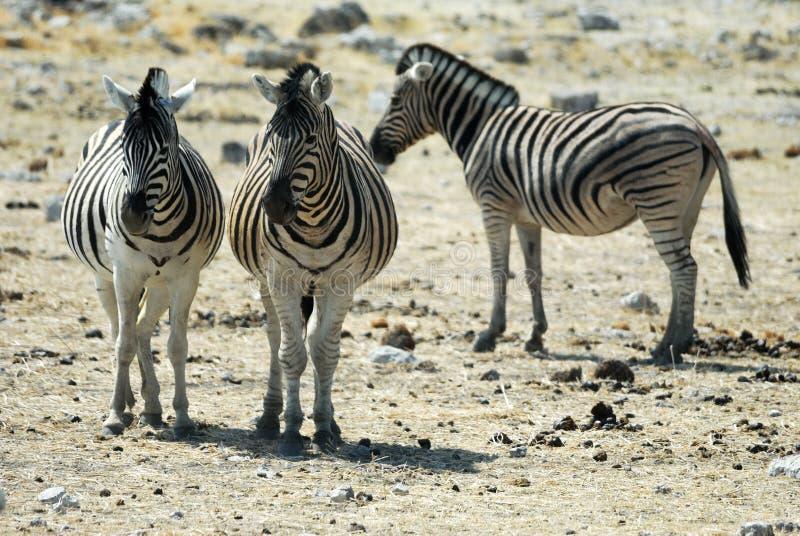 Zebras in the Etosha National Park, Namibia stock photography